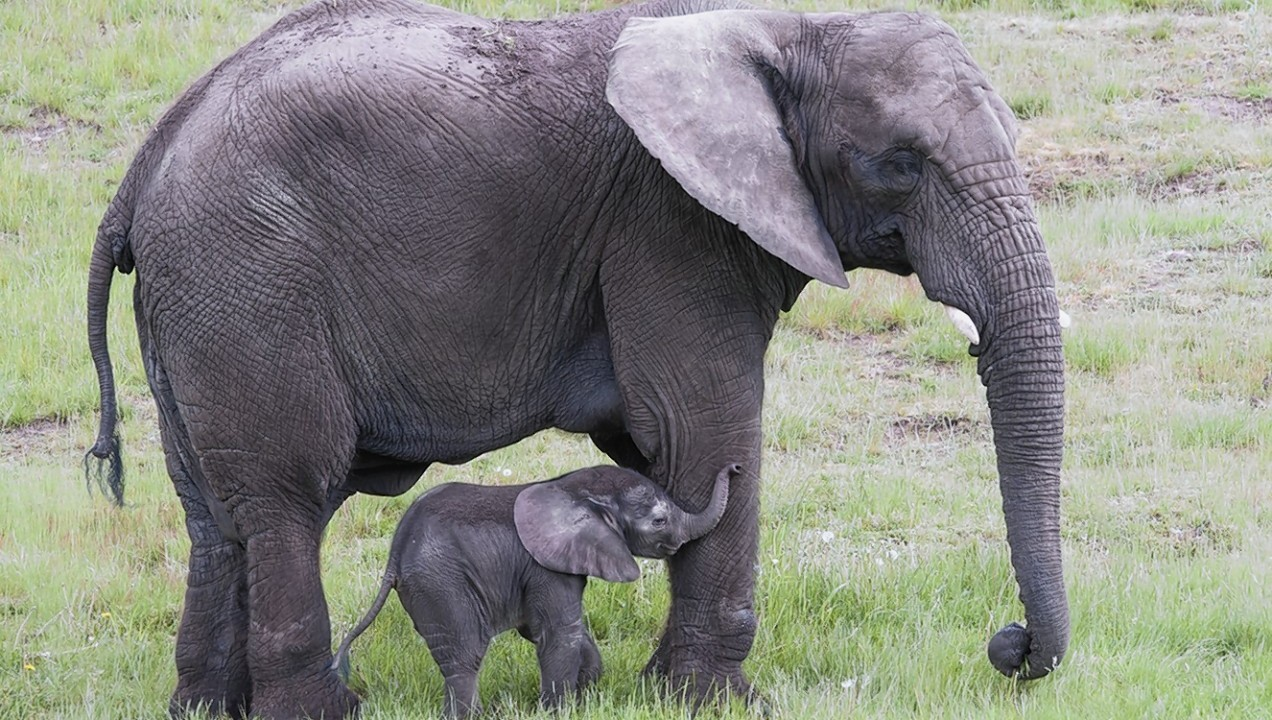 A baby elephant takes its first steps in West Midland Safari Park