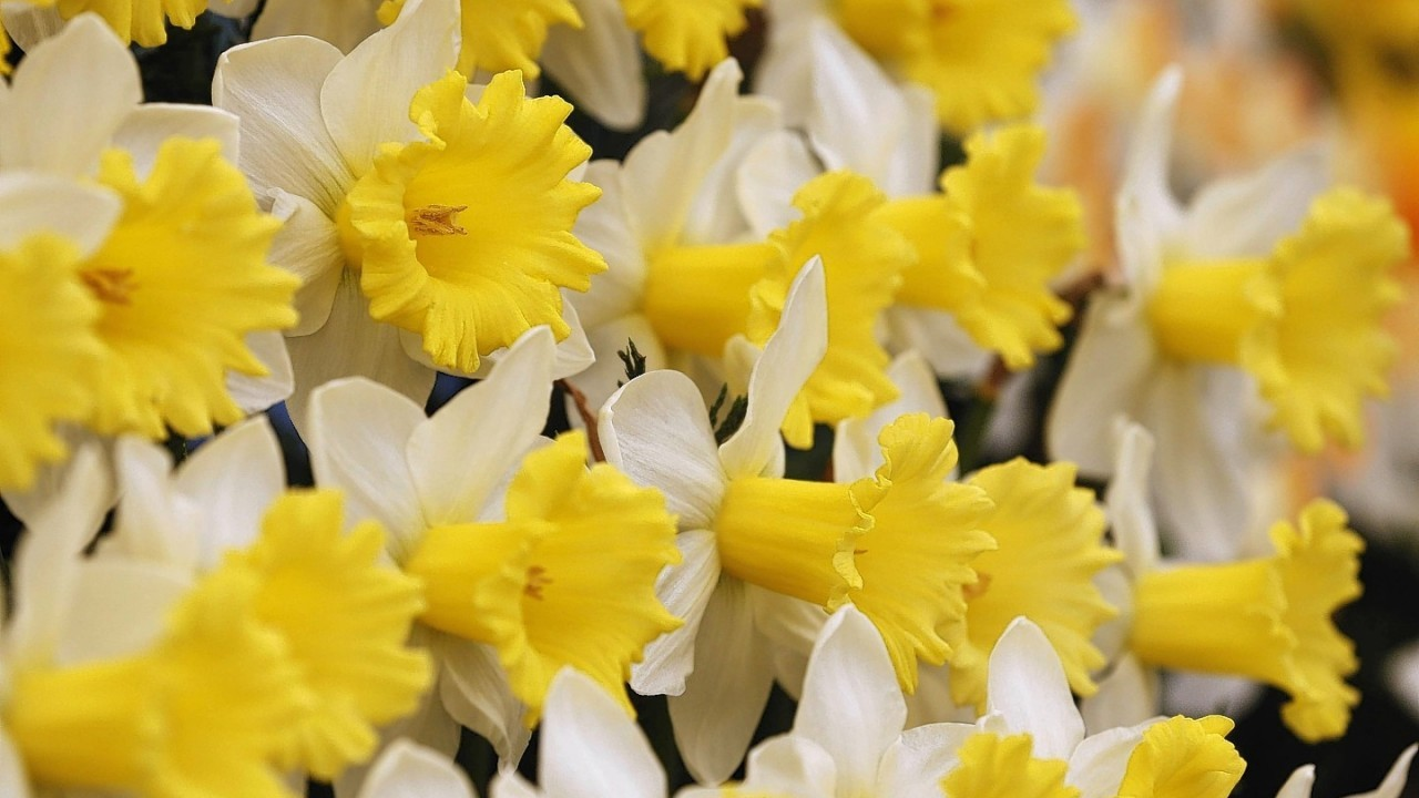 A new daffodil named 'Georgie Boy', to mark the birth of Prince George on display at the Chelsea Flower Show
