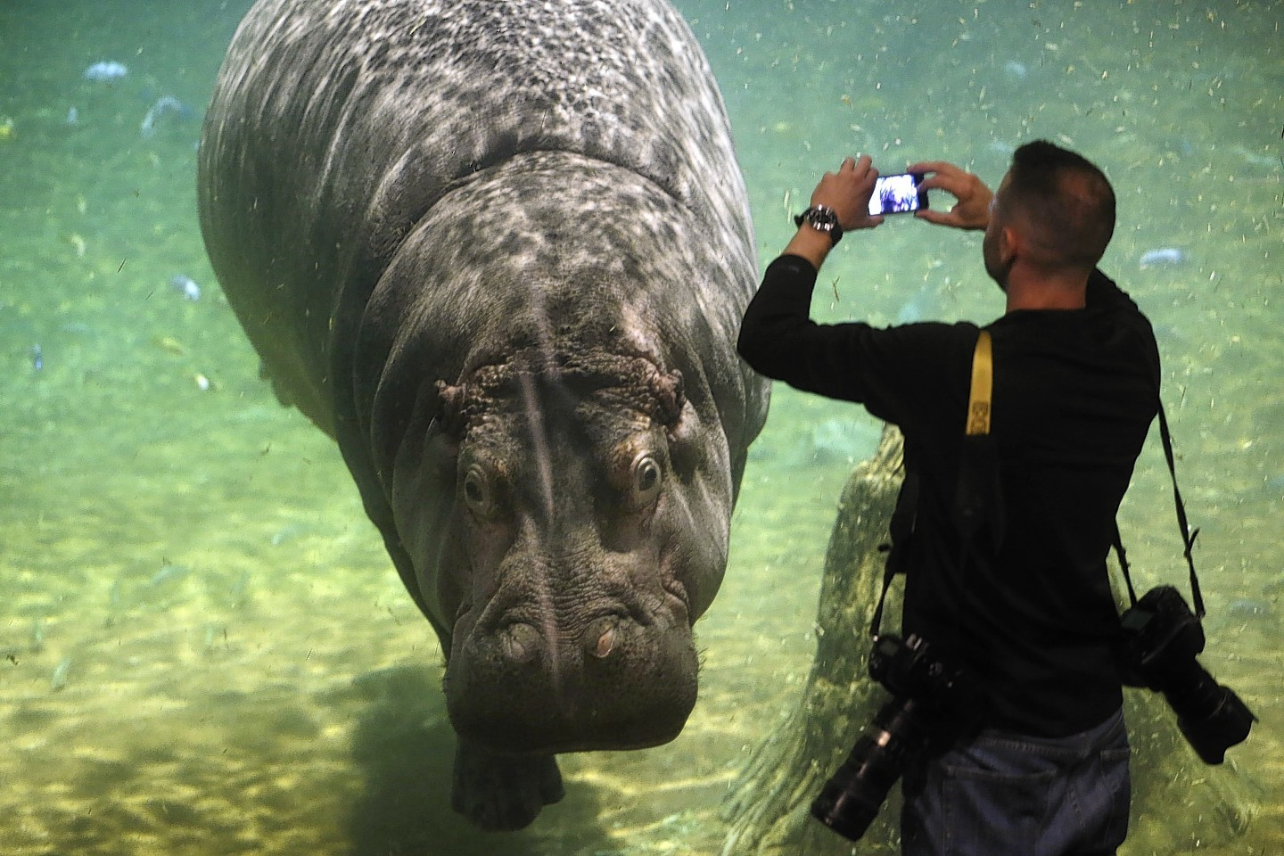 It 39 S Hippo Haven Exhibit Gives A New Look At Life Of A