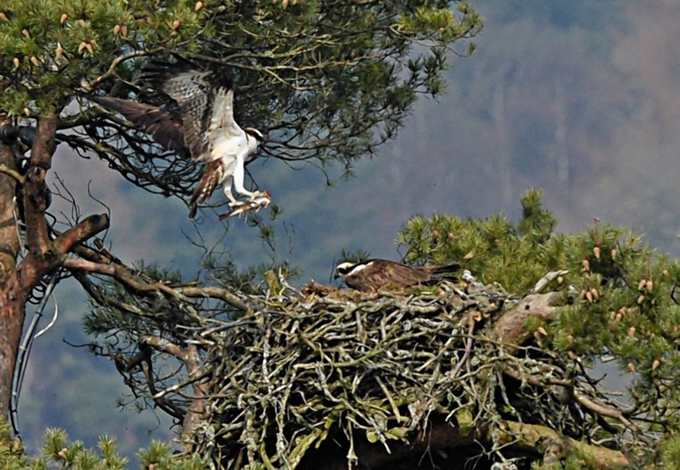 Lady the osprey, who has been delighting visitors to the Loch of Lowes, Dunkeld, for years