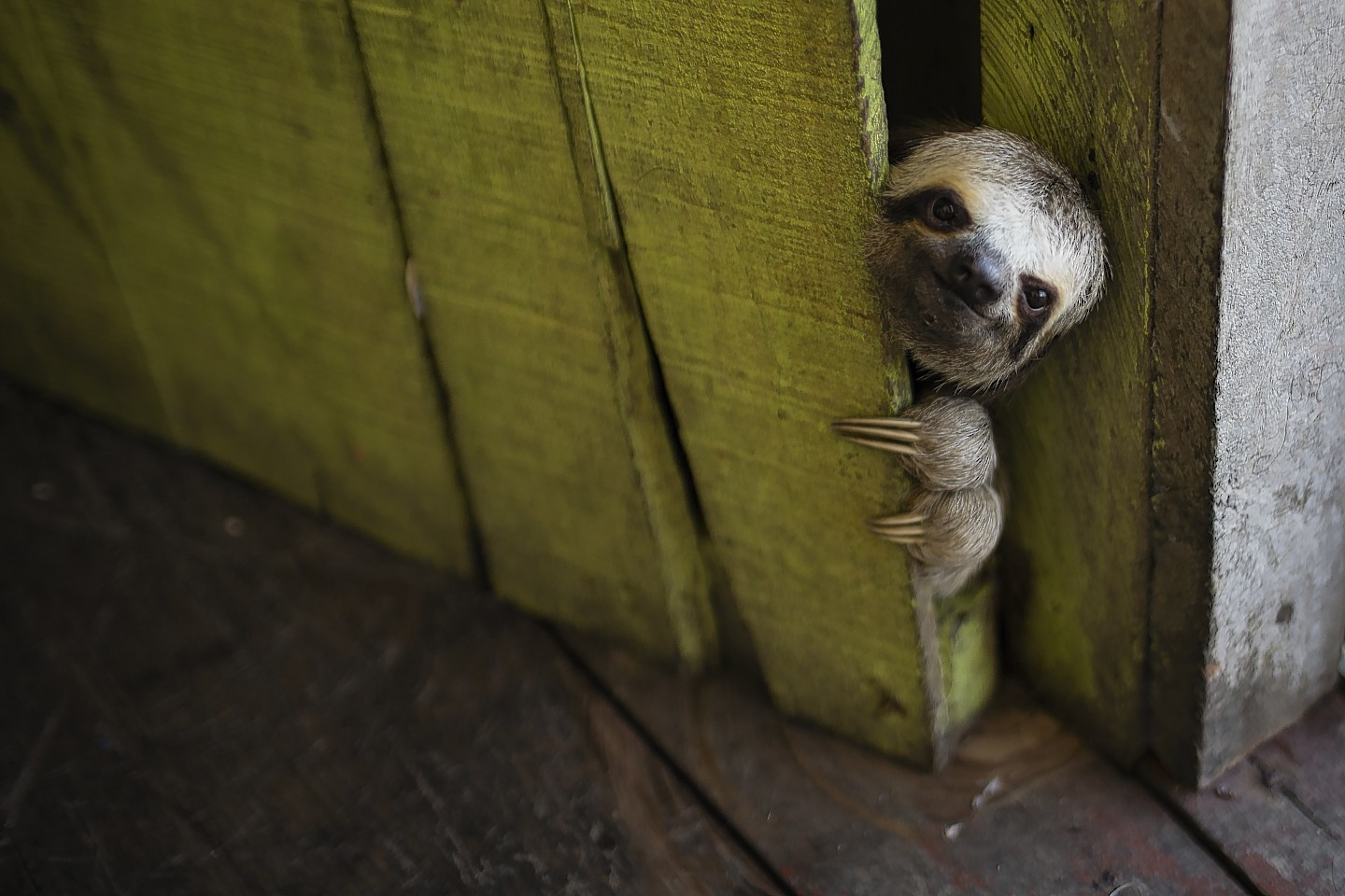 A sloth peeks out from behind a door on a floating house in the 'Lago do Janauari' near Manaus, Brazil