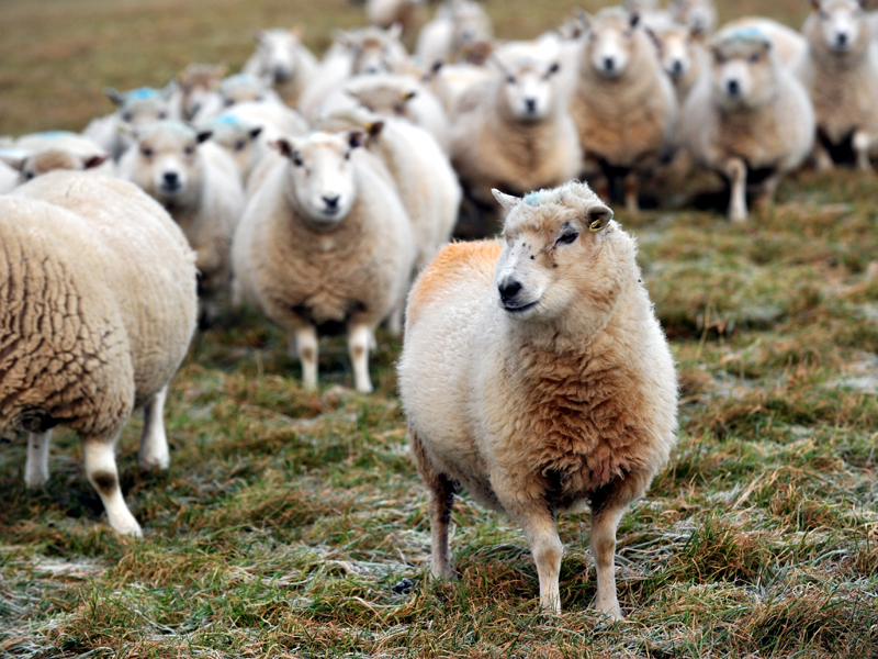 NFU Scotland says farmers need more information about the sheep scheme