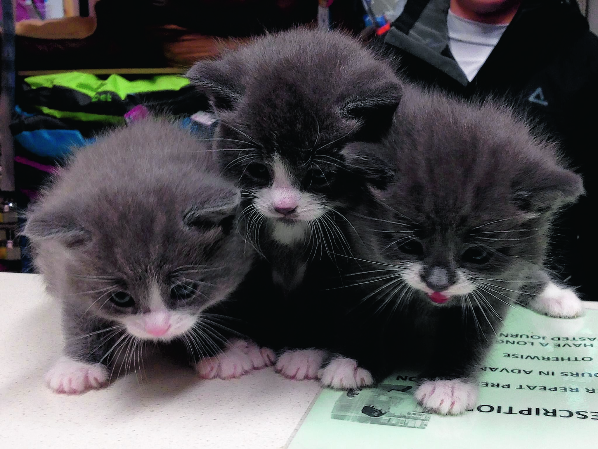 Three moggies  called Frizzy, Jerome and Ziggy.  They live with Emma Louise Newlands in Lerwick, Shetland.