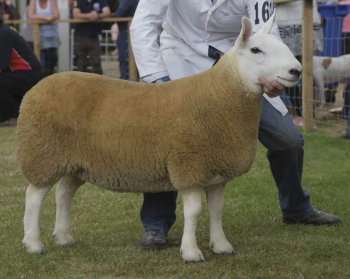 Overall interbreed champion in the sheep lines