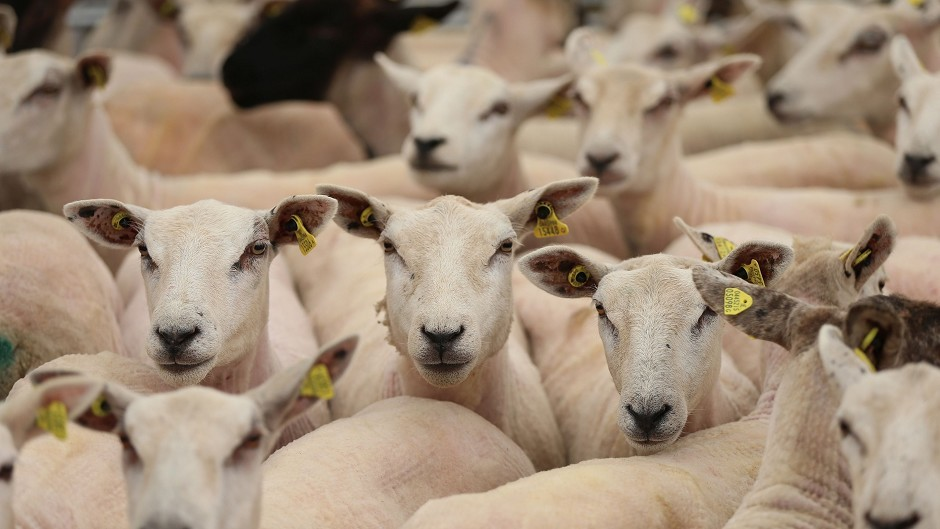 Australian sheep farmers are benefiting from the vaccine, developed by Scots researchers