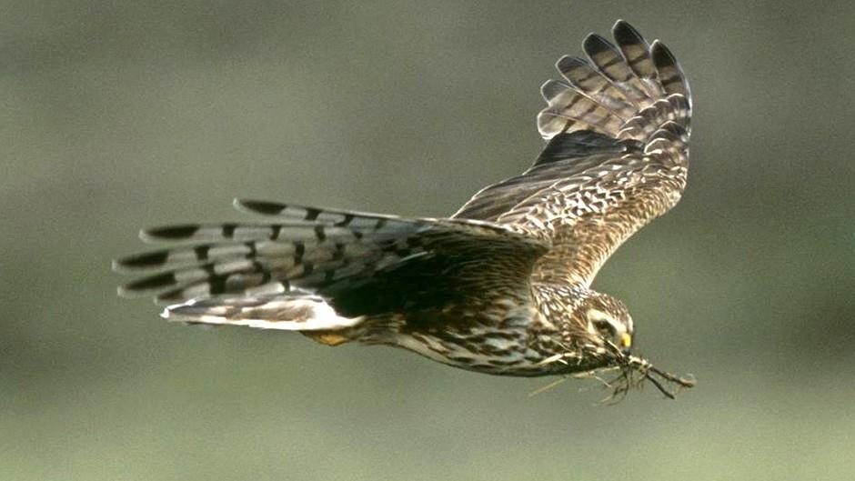 A hen harrier in flight