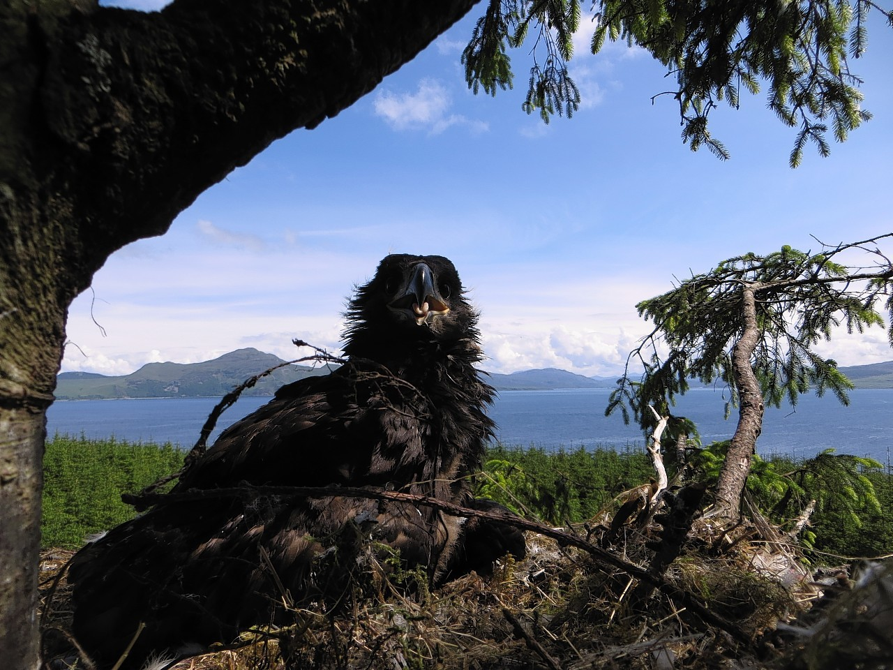 The younger Sea Eagle in it's nest