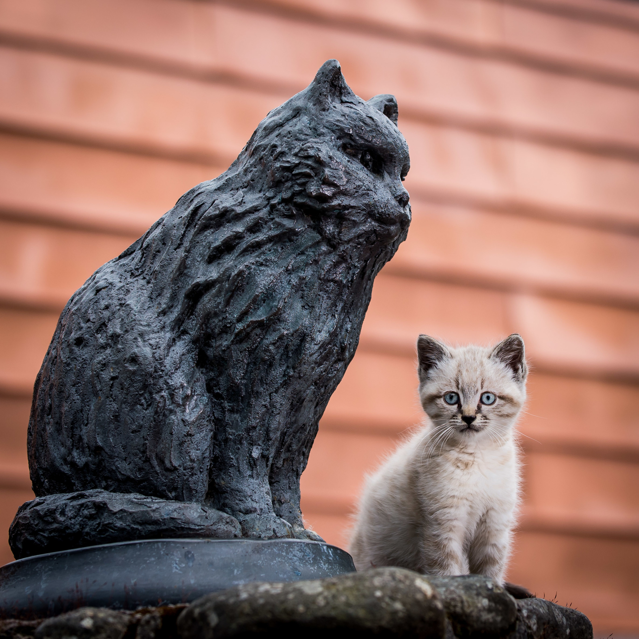 Eight-week old Peat will follow in the footsteps of the distillery's legendary mouser, Towser, who caught 28,899 mice in her 24 years at the distillery
