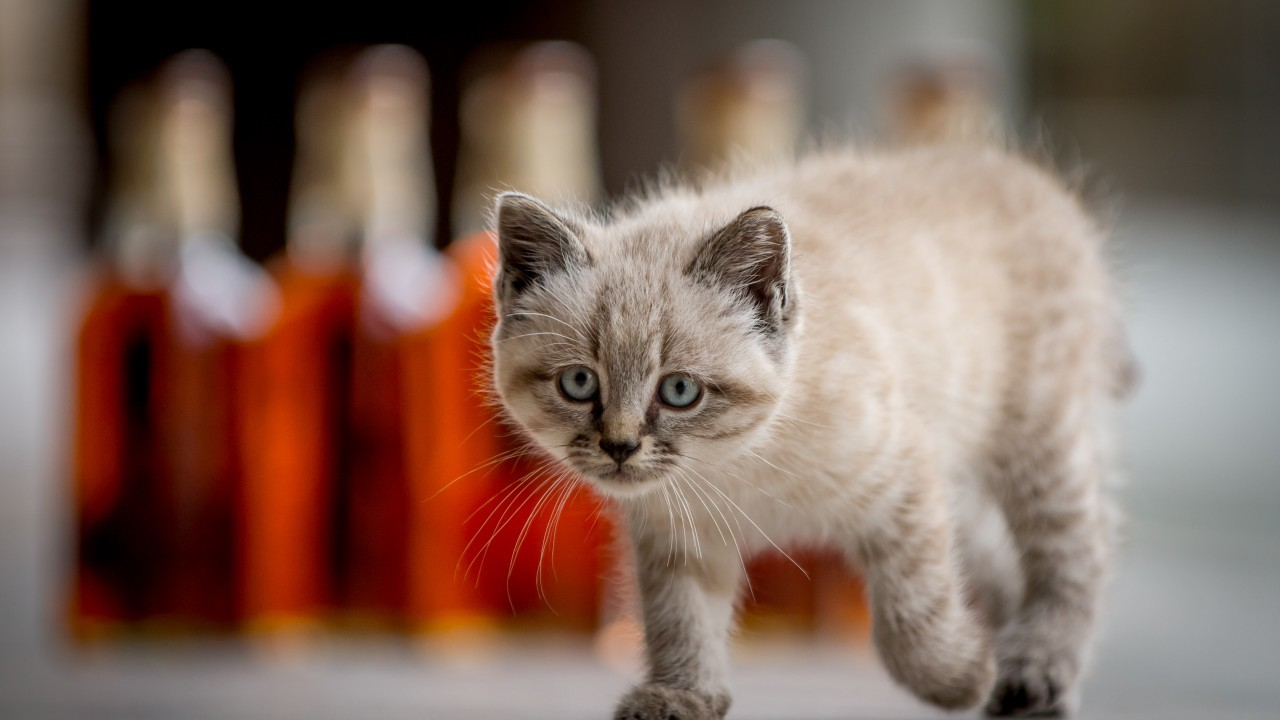 The kitten will follow in the footsteps of the distillery's legendary mouser, Towser, who caught 28,899 mice in her 24 years at the distillery.