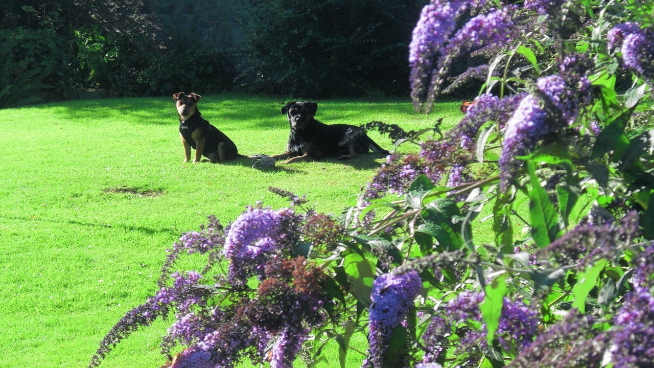 Here is Fergus and Hector soaking up the sun in the garden.  They live with Evelyn in Macduff.