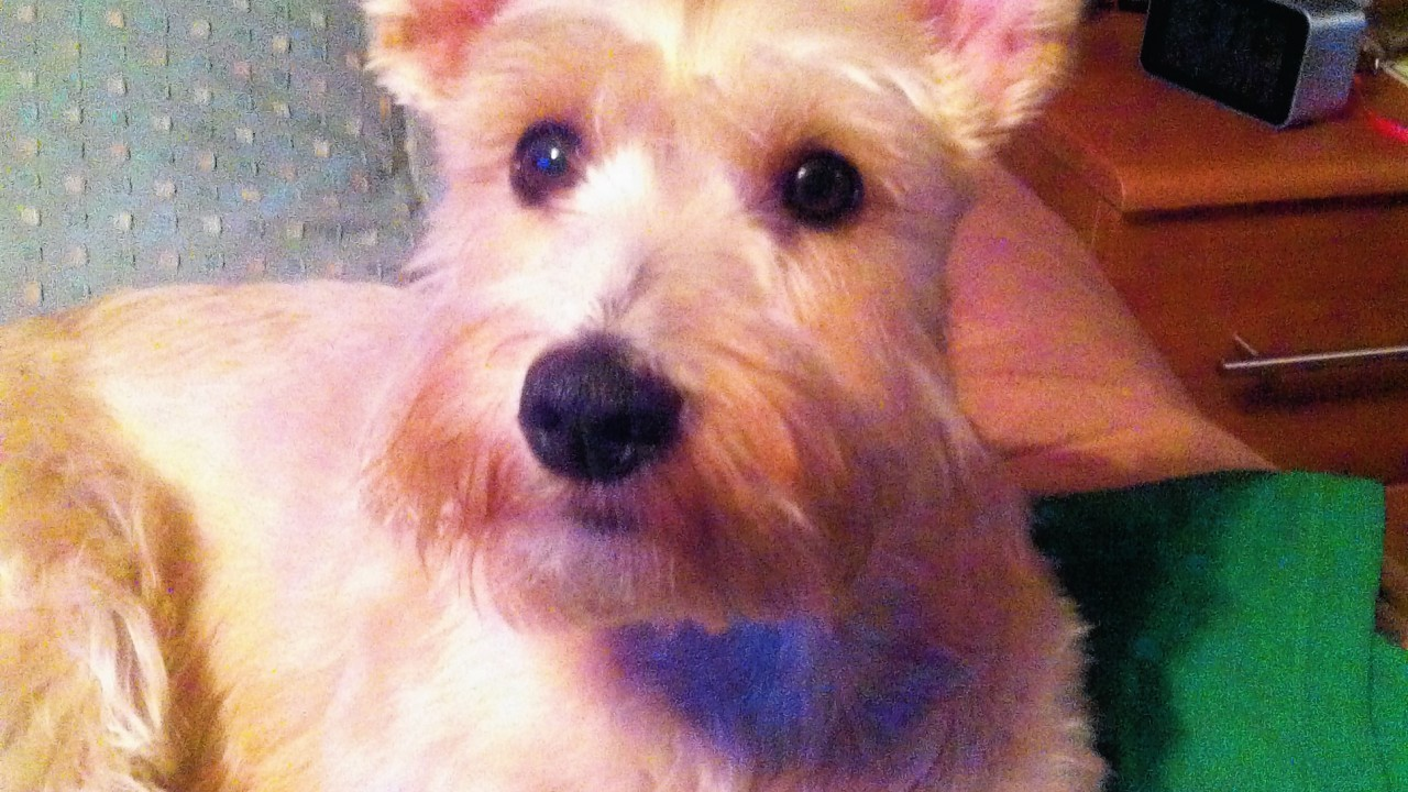 Jack Russell/schnauzer cross Ruby lives with the Mapley family in Aberdeen.