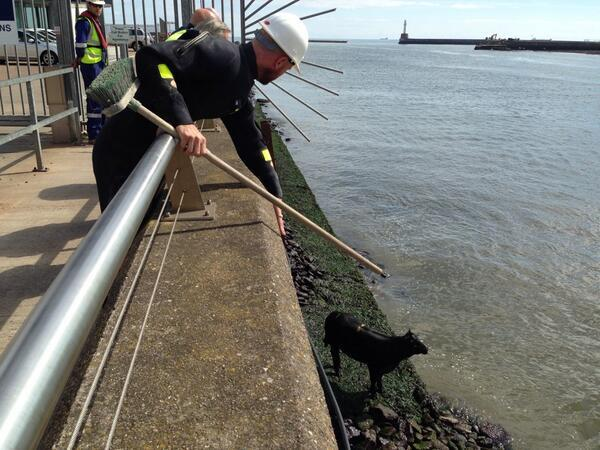 Rescuers try to get to the cow at Aberdeen Harbour