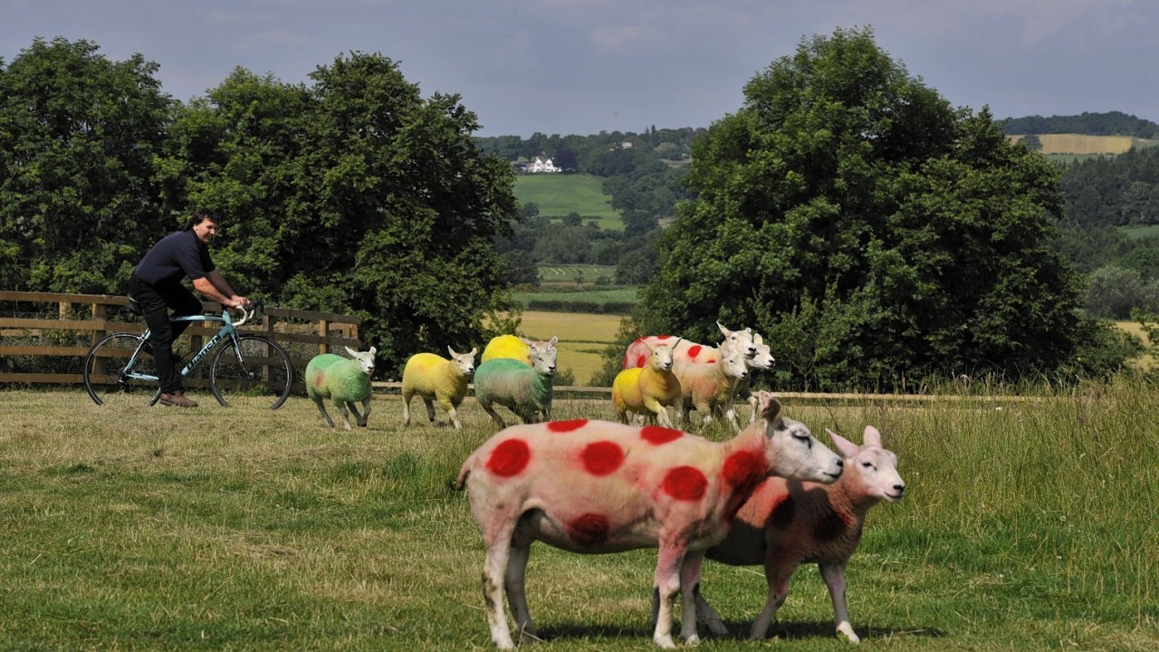 Sheep painted in the colours of the Tour de France winners jerseys in fields near Harrogate