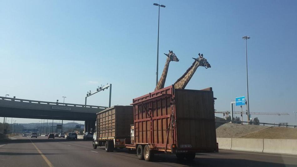 A picture of the giraffes before the incident.