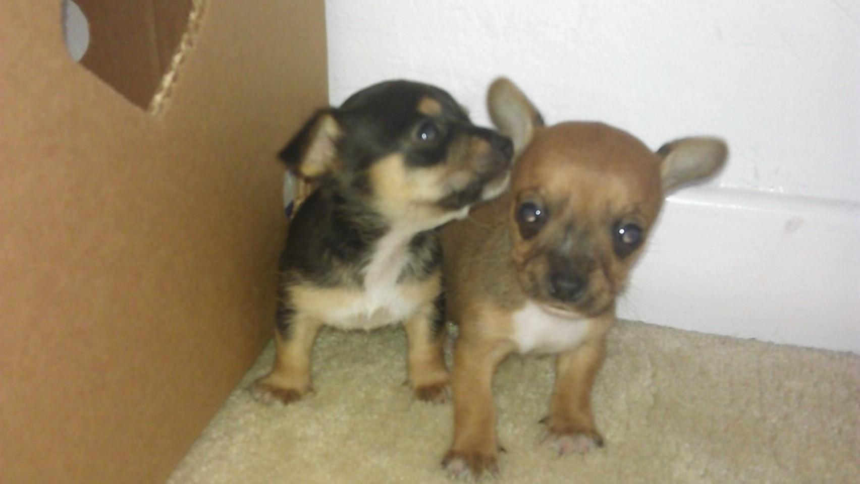 Jackawawas - Chihuahua-Jack Russell crosses