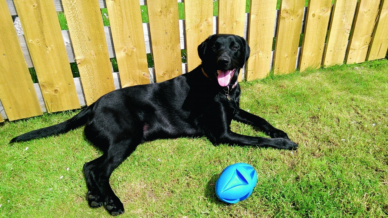 Otis the black Lab, taking a break from playing in the garden on a sunny afternoon. He lives with Diane, Michael, and baby Ethan McCosh in Kemnay, Aberdeenshire.