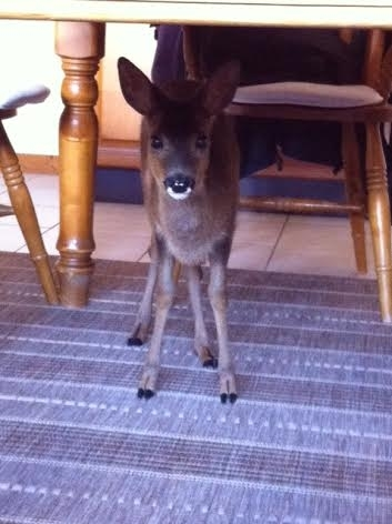 Four month old baby roe deer, Bertha. Credit: Angela Morrison
