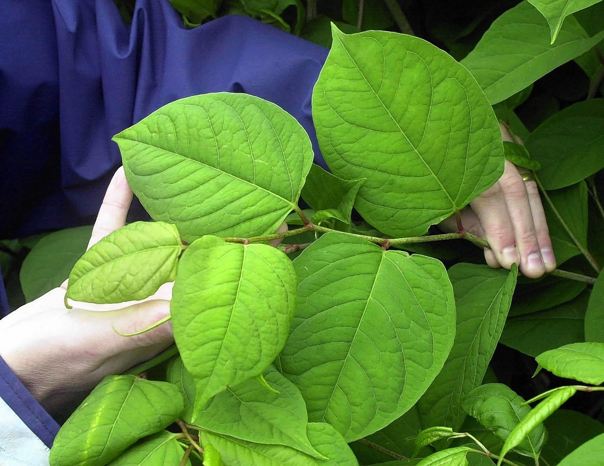 Japanese Knotweed is one such non-native invasive species which is threatening important habitats