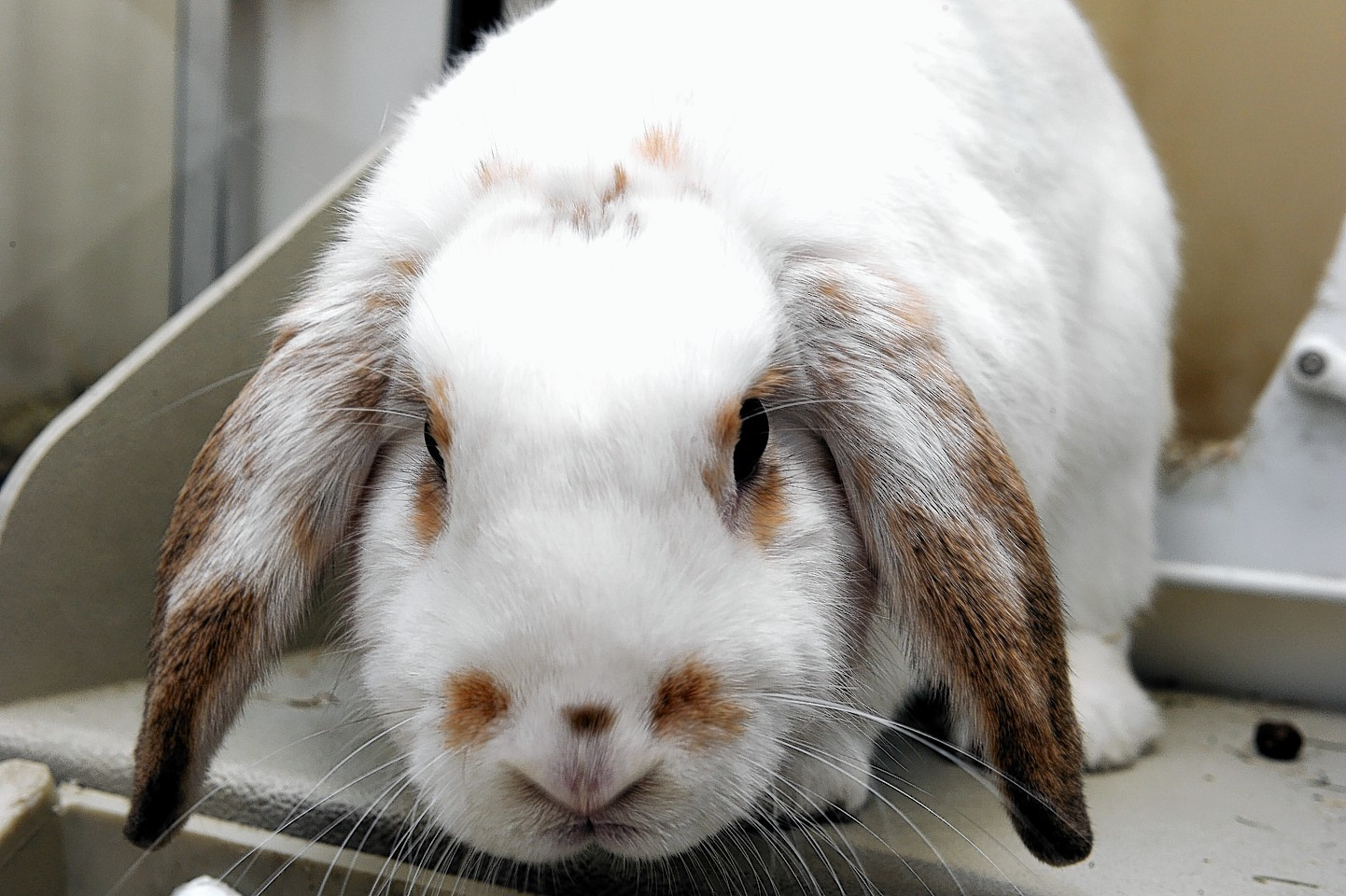 The pet rabbit is believed to have been stolen from its hutch