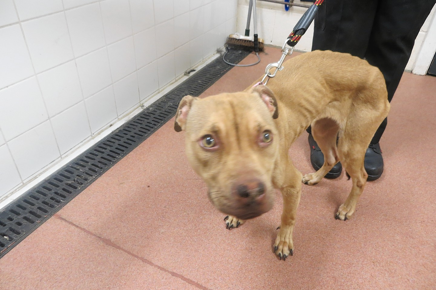 One of the starved dogs kept by Shona McBain