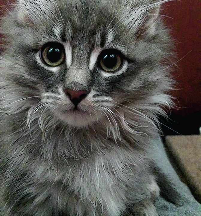Cali the 11-week-old munchkin kitten lives with Michael Forbes in Maud, Peterhead.