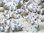 Lamb prices are back about £15 a head on last year