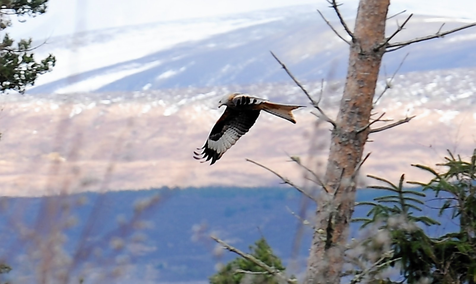 A red kite in flight near Conon Bridge