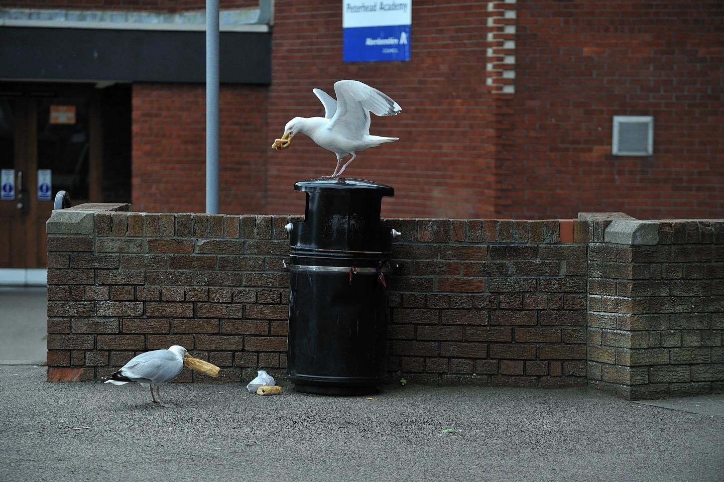 Scavenging gulls at work