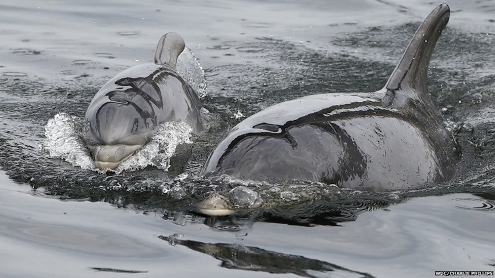 Bottlenose dolphins. Photo by Charlie Phillips