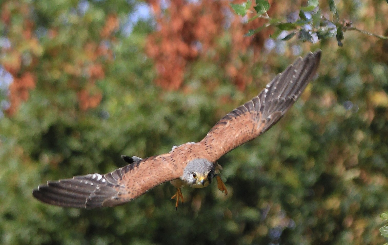 Kestrel numbers are on the decline