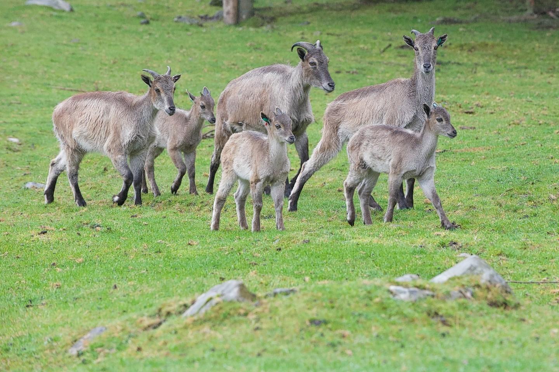 New borns at Highland Wildlife Park