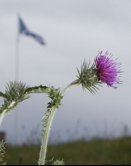 The thistle is the national flower of Scotland