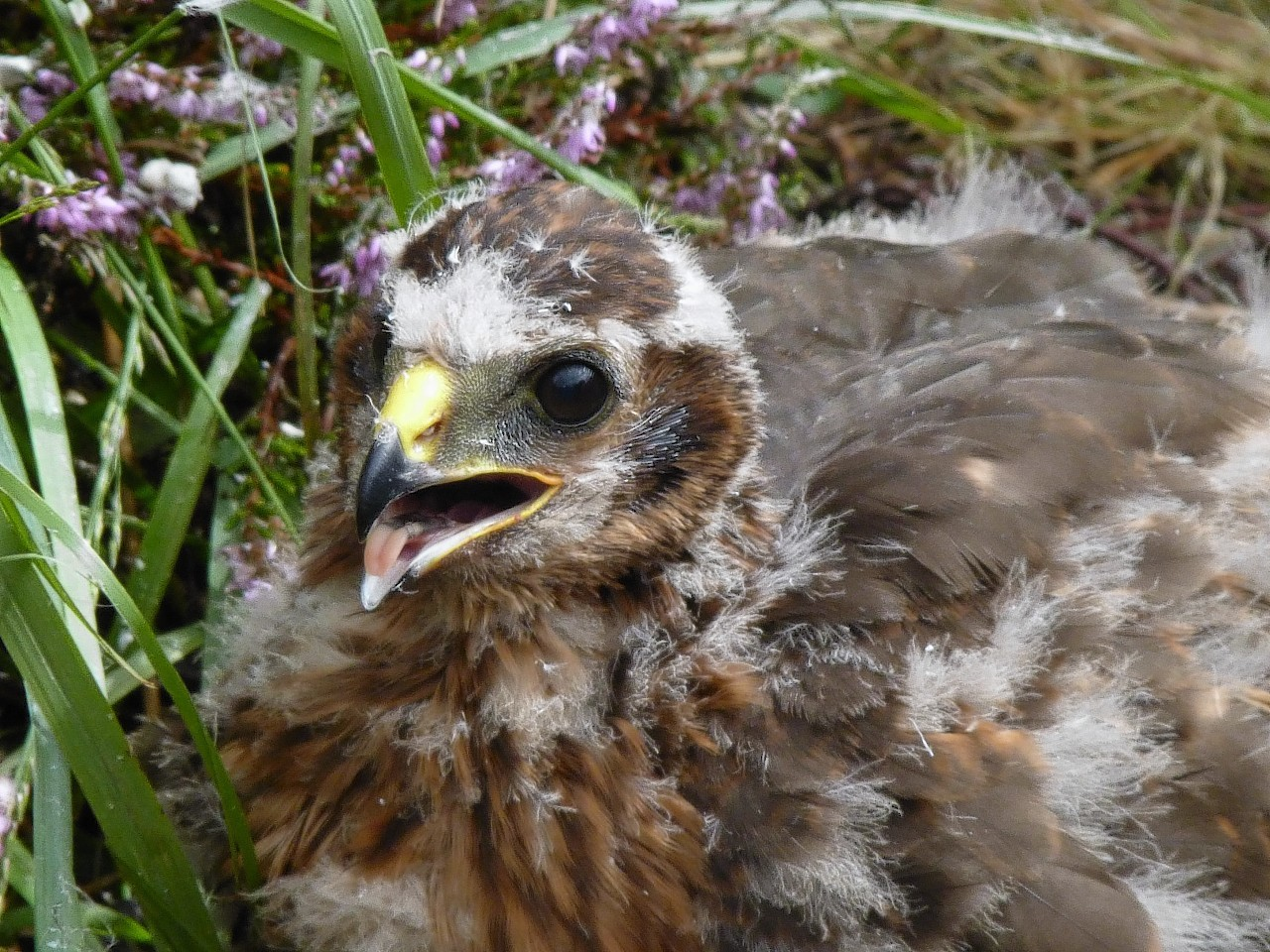 Three young hen harriers are among the four to have disappeared in suspicious circumstances.