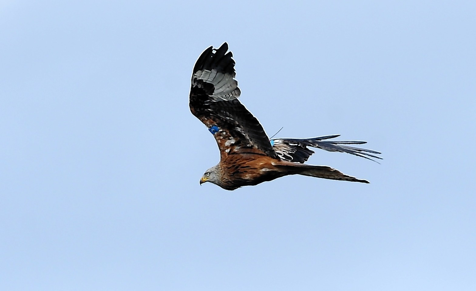 A red kite in flight in the Highlands