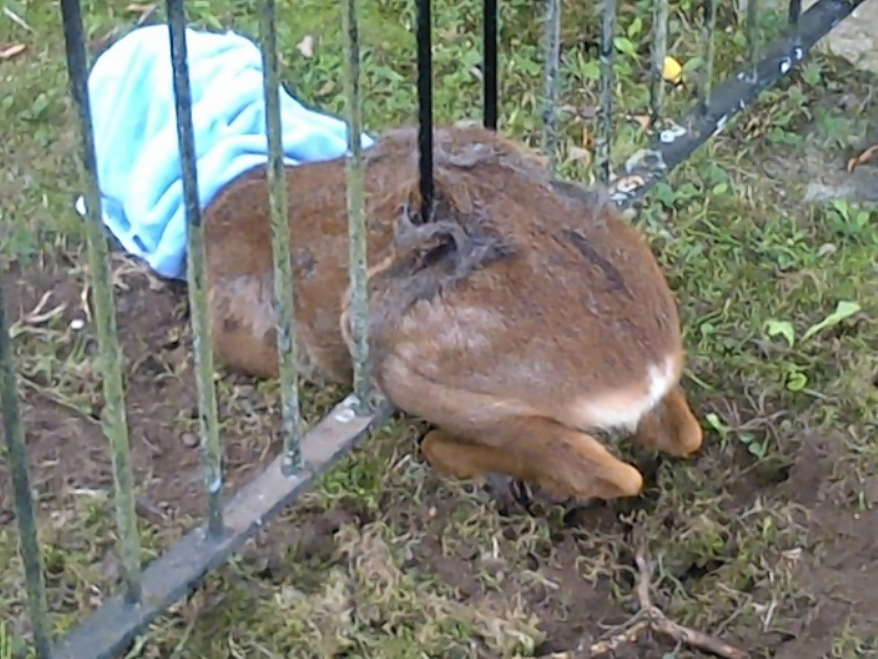 The young deer trapped in the fence in Inverness