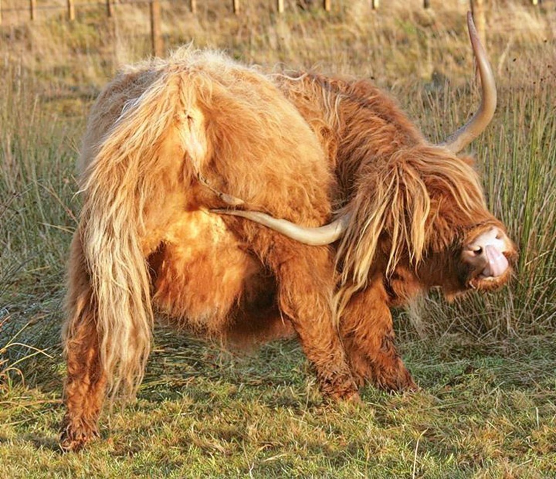 The highland cow puts his horn to good use