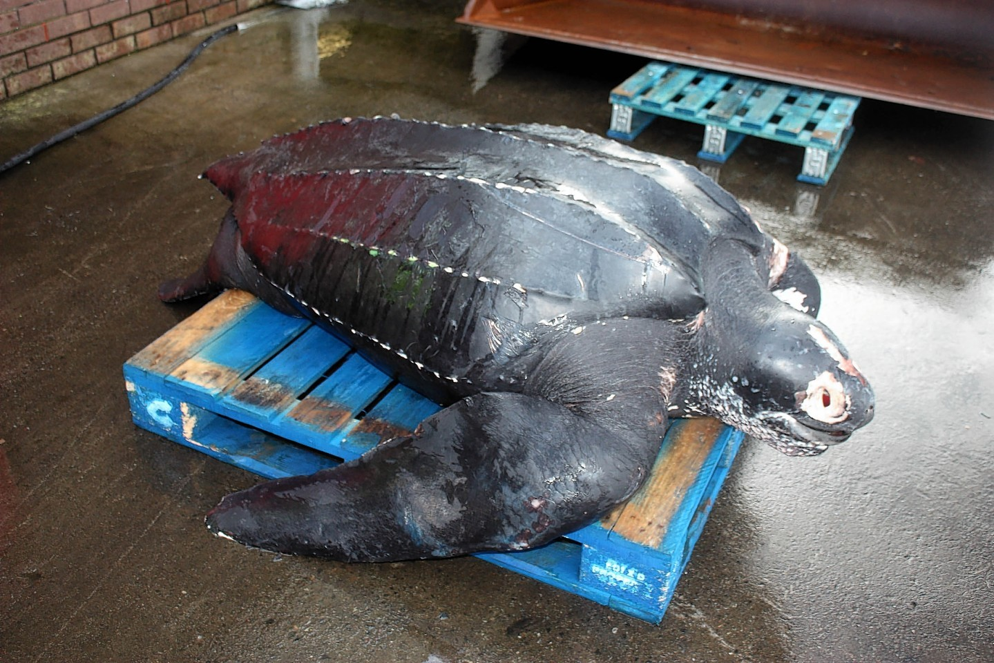 Giant Leatherback Turtle found dead off the Scottish coast