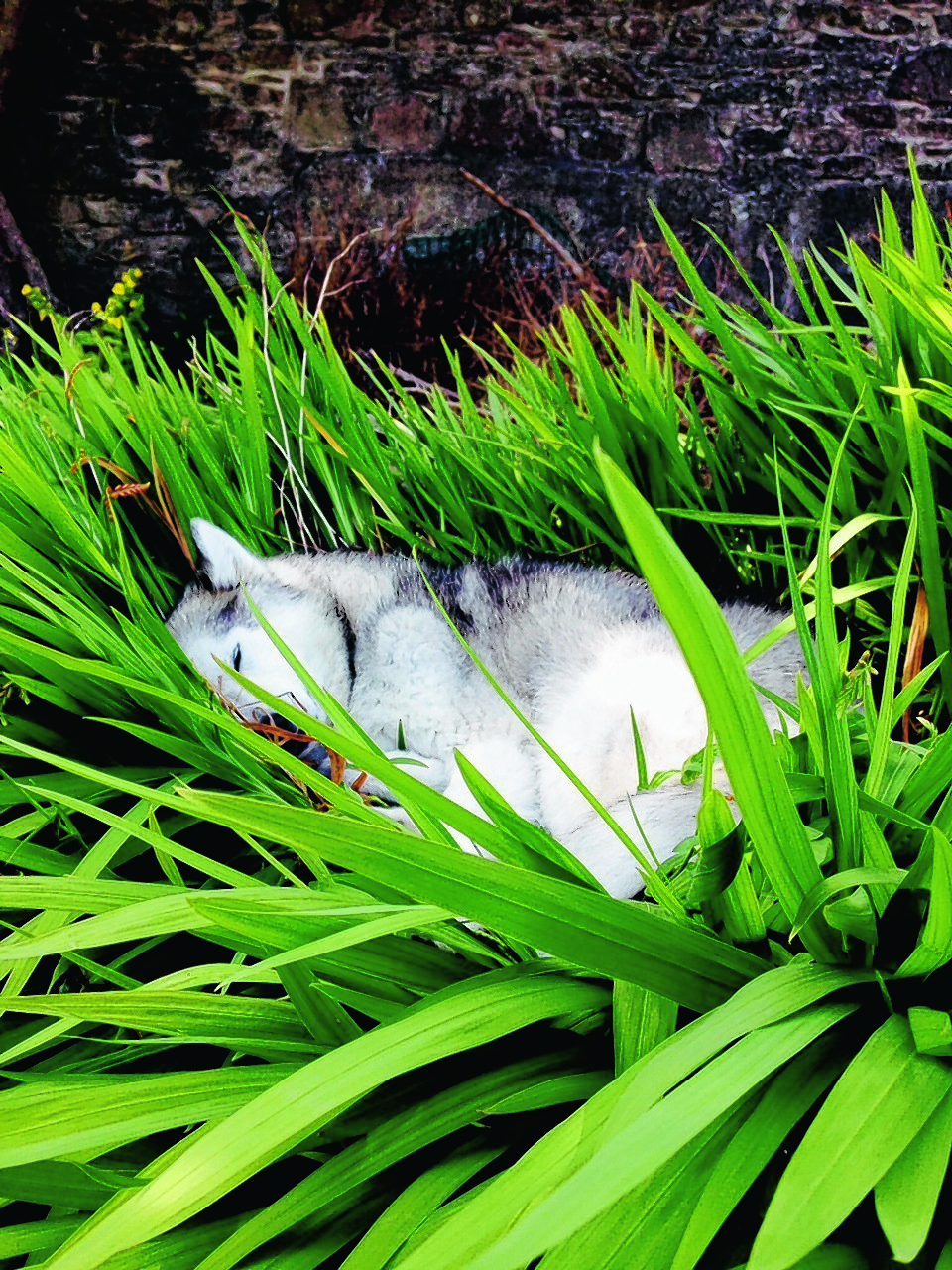 Here is Alaskan Malamute Voe in her favourite snoozing spot. She lives with the Murray family in Lerwick