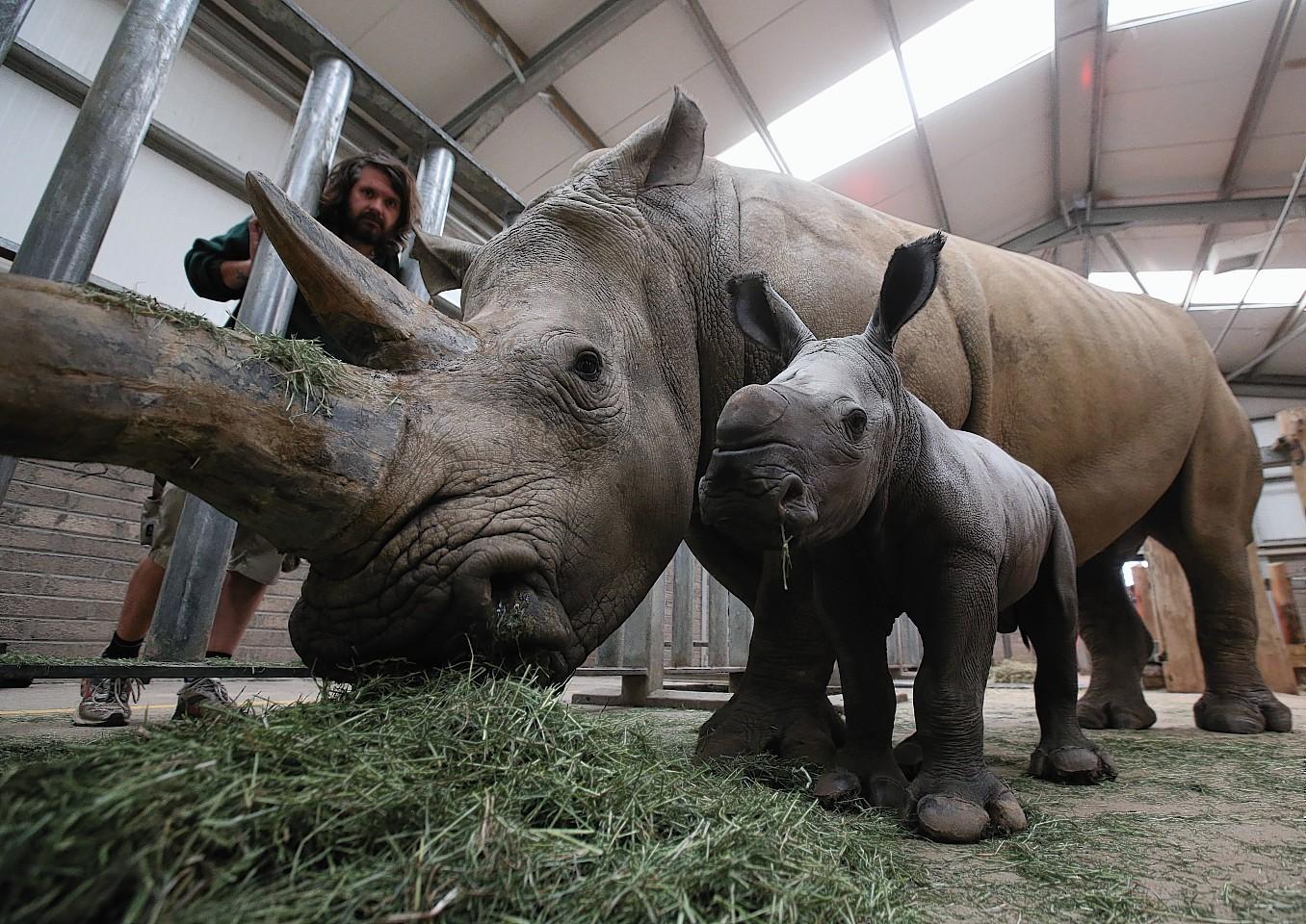 Bruce the baby White Rhino with mum Dot at Blair Drummond Safari Park