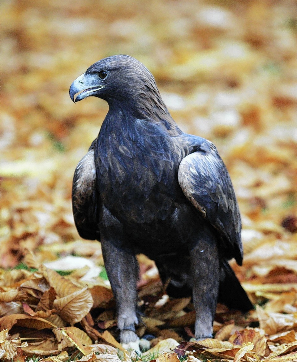 Campaigners claim Scottish Government is trying to hide golden eagle deaths.