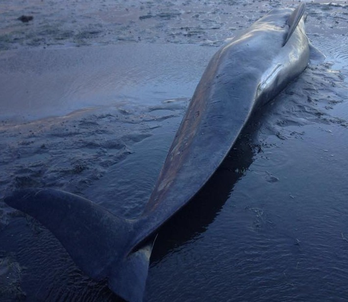 A long-finned pilot whale which died after becoming stranded