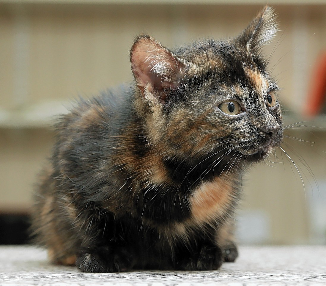 Unwanted kitten is actually scotland 39 s rarest cat press and journal - Images of tortoiseshell cats ...