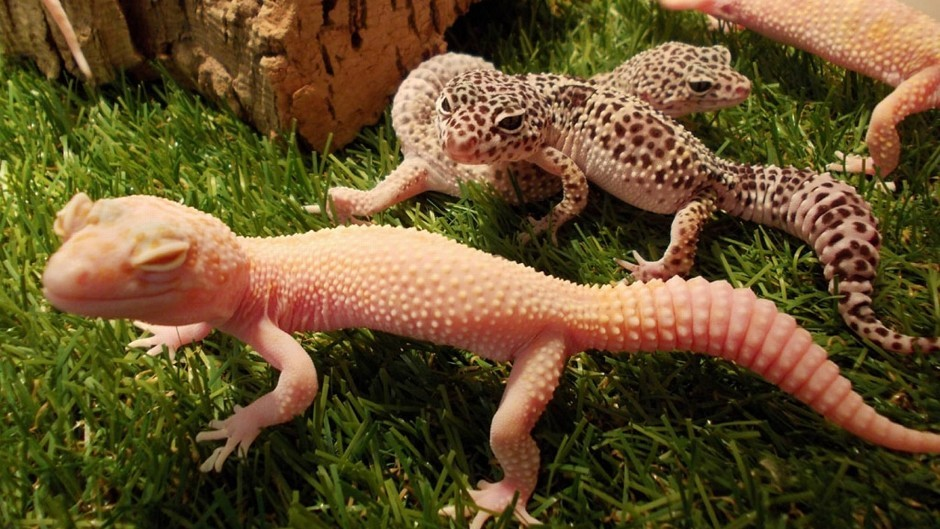 Gecko lizards inspired scientists to develop sticky attachments which allowed a man to climb a 12ft pane of glass (PA/RSPCA)