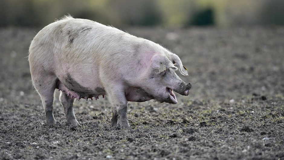 Pig producers made a loss despite a drop in the cost of production
