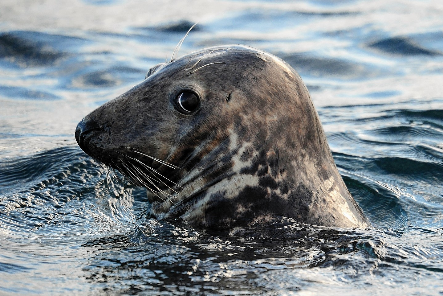 Seals could be eavesdropping on vital scientific work
