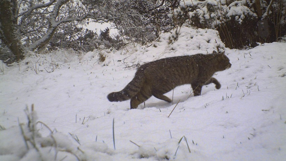 The Heritage Lottery Fund is helping to protect Scottish wildcats