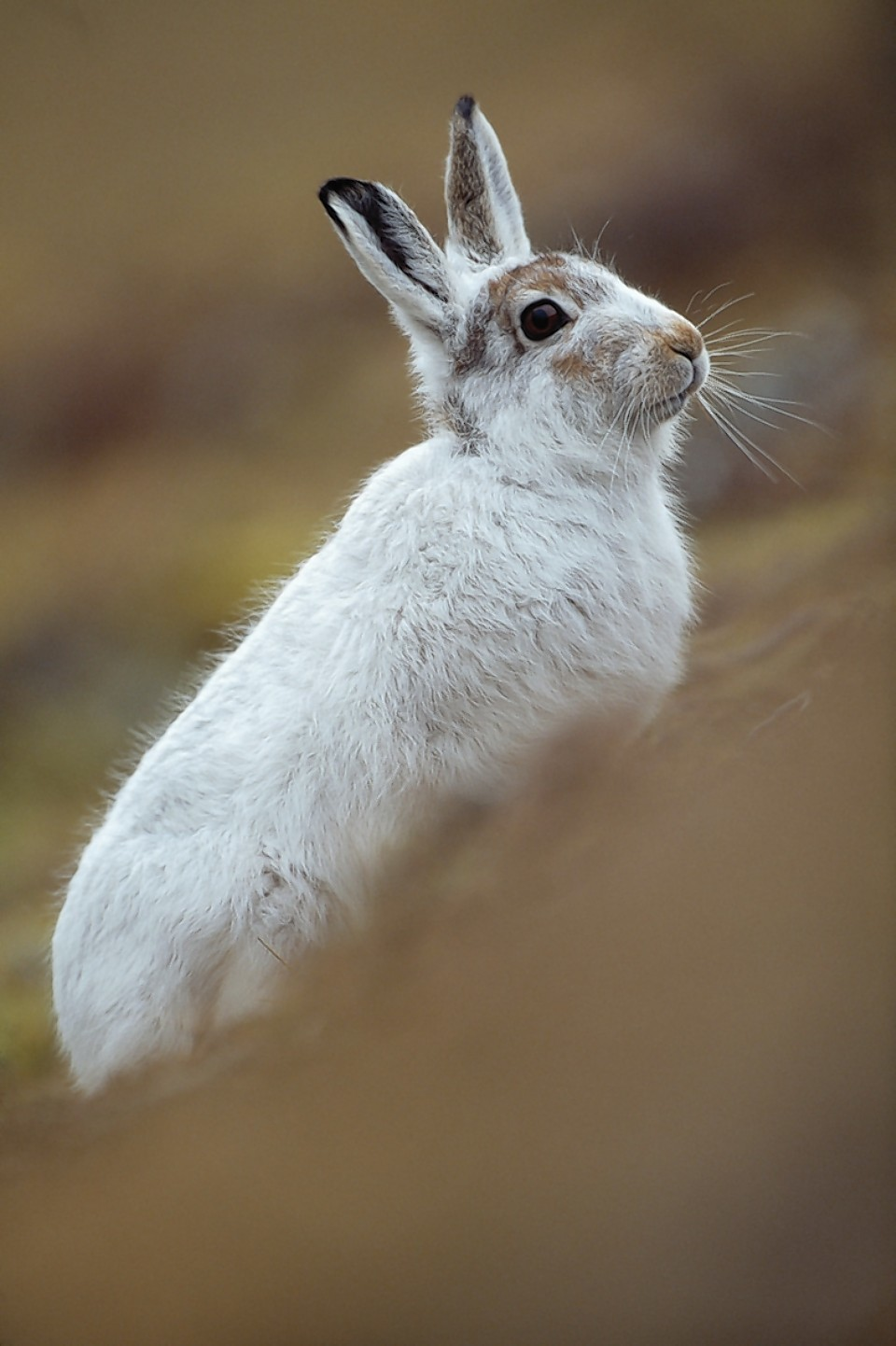 Estates are urged not to carry out large-scale culls of mountain hares.