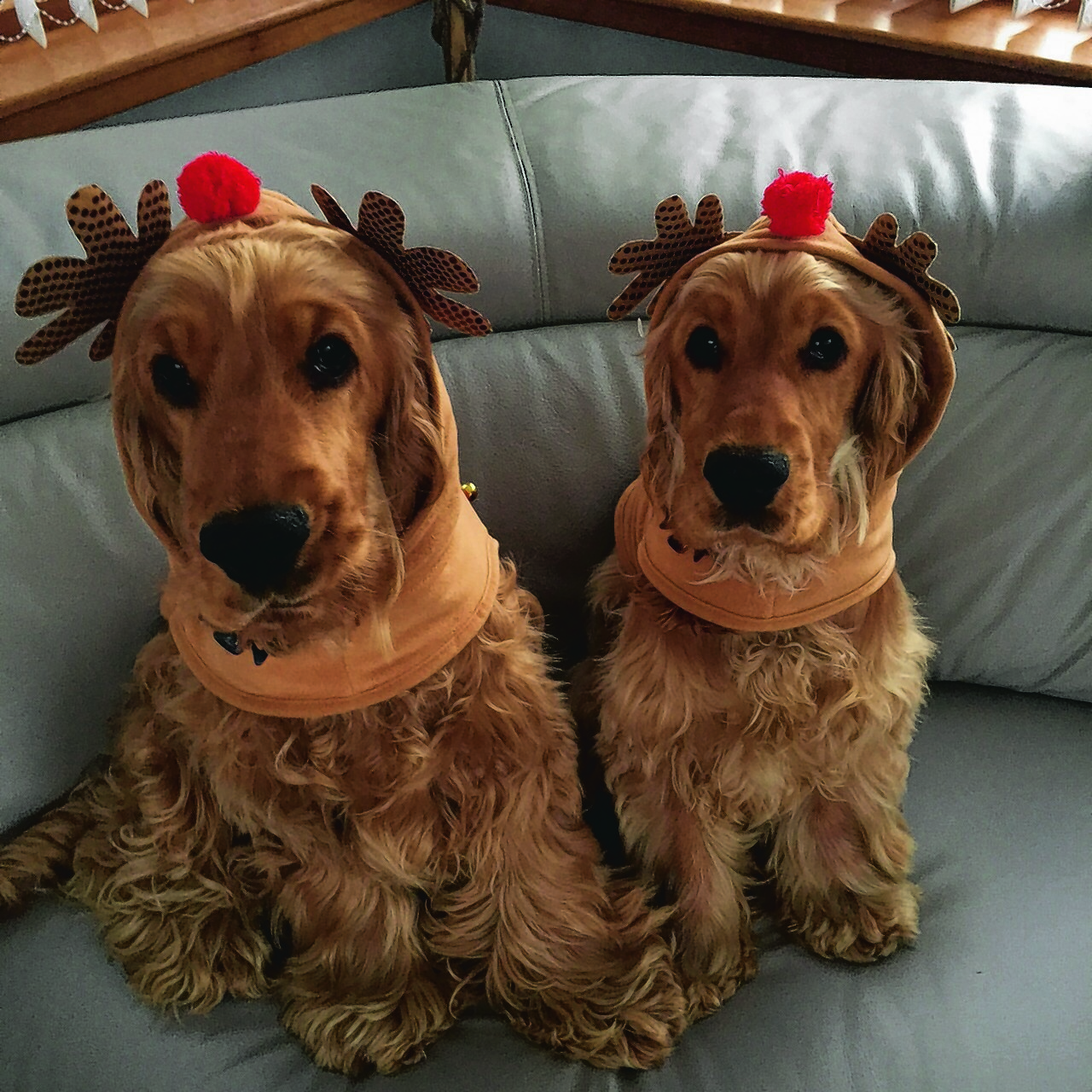 This is Olly and Lucy from Macduff all ready for Christmas. They are brother and sister and are nine months old. Olly is Alison's dog and Lucy is Amanda's dog. They are getting an early Christmas  present by being our joint winners this week.