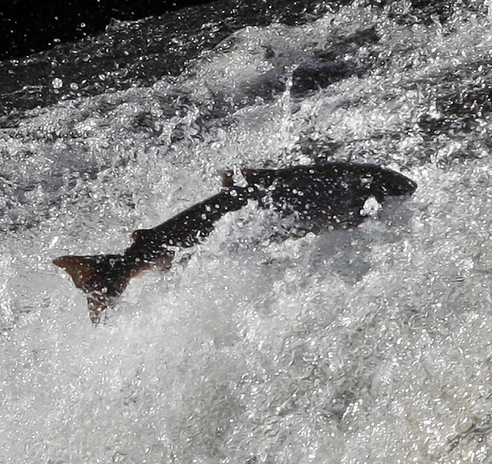 It is claimed that numbers of wild salmon are down