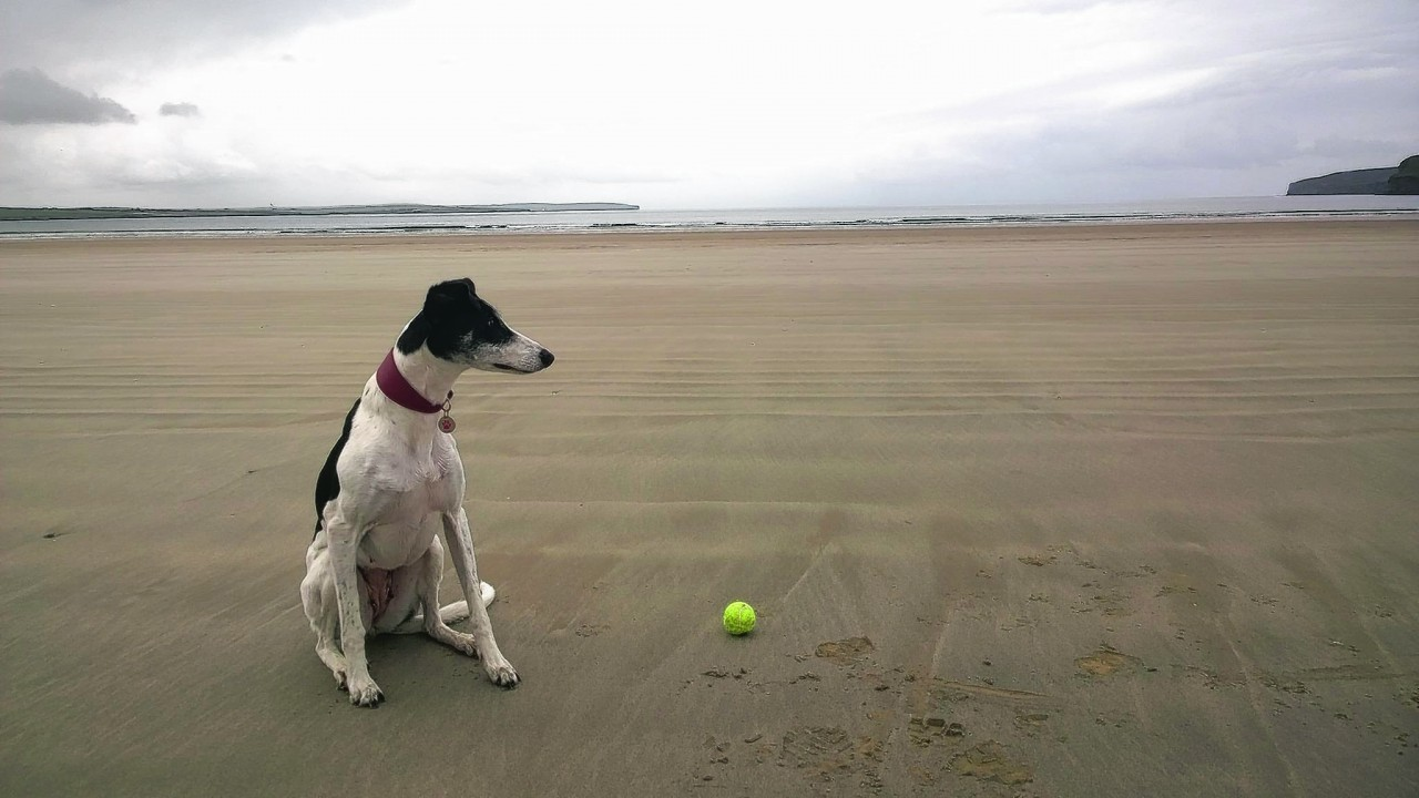 Daisy the lurcher was rehomed  a couple of months ago from Balmore, the SSPCA centre in Caithness. Here she is enjoying chasing her ball (and posing) out at Dunnet beach near Thurso. She lives with Shondie Maclean.